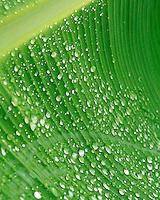 Raindrops on a green banana leaf.