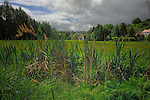 Bull rushes in waterlogged field against cloudy background and village homes. Aschaffenburg countryside, Bavaria, Germany.
