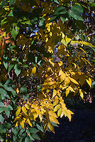 Zelkova serrata 'Iruma Sango' Columnar Japanese Zelkova in autumn fall yellow gold color, changing colors