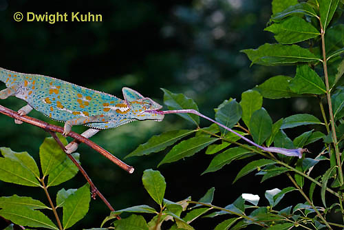 CH38-523z Female Veiled Chameleon tongue flicking to catch insect prey, Chamaeleo calyptratus, for sequence see CH38-522z