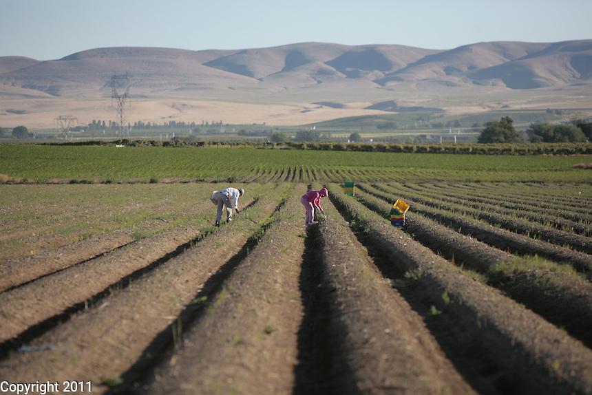 Ayala Farms- Sunnyside, Washington, Asparagus Harvest
