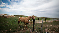 A horse on Kevin Larrabee's ranch in Mead, Kansas. The land has belonged to his family for over a hundred years. Kevin breeds and raises cattle here in sustainable manner that allows animals to roam freely on the pasture and feed on the grass. ..