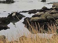 A great blue heron is reflected in the water at Bean Hollow State Beach.