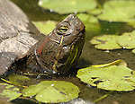 A Turtle sits in pond in Clark Memorial Garden in Albertson in June 2009. Copyright/Jim Peppler 2009.