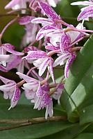 Dendrobium Suffusum = gracilicaule x kingianum  primary orchid hybrid