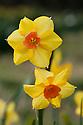 Daffodil (Narcissus 'Martinette'), a multi-headed Division 8 Tazetta variety, mid February.