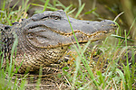 Columbia Ranch, Brazoria County, Damon, Texas; a head shot of a female, adult American Alligator (Alligator mississippiensis) resting on the bank at the water's edge, sunning herself