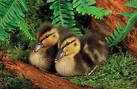 Mallard ducklings. Summer. Pacific Northwest..(Anas platyrhynchos).