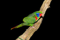 Male Red-flanked Lorikeet (Charmosyna placentis). Captivity