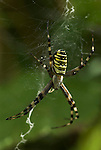 Wasp Spider, Argiope bruennichi, on weban introduced species to the UK, now spreading around the country, black yellow stripes.United Kingdom....