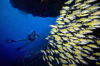 December 3rd, 2008_MALDIVES_ A diver swims into a school of Yellowstripe snapper, at a dive site known as Kudarah Thila in the Maldives.  The Maldives, which is the world's lowest nation in altitude is rich with marine life and great diving.  Photographer: Daniel J. Groshong/Tayo Photo Group
