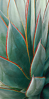 Agave &lsquo;Blue Glow&rsquo;