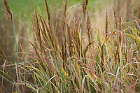Indian Grass, Sorghastrum nutans 'Bluebird', ornamental grass flowering in autumn garden
