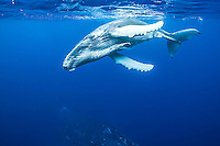 Young humpback whale frolicking on the surface above it mother. (Photo by Underwater Photographer Matt Considine)