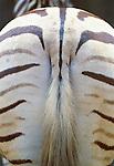 Burchell's zebra, Africa