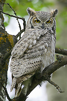 Great Horned Owl perched in a tree
