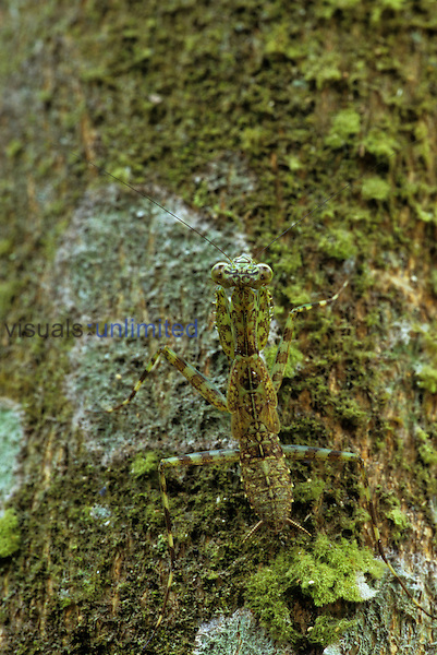 Small bark-mimicking Mantis on a moss- and lichen-covered tree trunk in the eastern lowland rainforest of Guatemala. Mantid is about 1 cm or 1/3 inch long.
