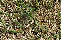 Grüne Flussjungfer, Grüne Flußjungfer, Grüne Keiljungfer, Männchen, Ophiogomphus cecilia, Ophiogomphus serpentinus, Green Snaketail, male, Gomphidae, Flussjungfern, Flußjungfern
