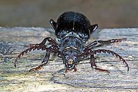 Sägebock, Männchen, Gerberbock, Säge-Bock, Prionus coriarius, the tanner, the sawyer, prionus longhorn beetle, male