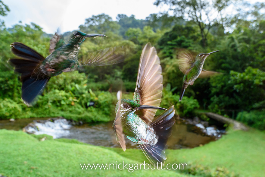 Female Green-crowned Brilliant (hummingbird) (Heliodoxa jacula) hovering / in flight. Montane forest, Bosque de Paz, Caribbean slope, Costa Rica, Central America.