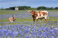 After bluebonnets had passed in the Hill Country, I headed north to Ennis to find our favorite Texas wildflowers. While driving through the countryside, I came across these regal longhorns lounging in a field of blue. Using a telephoto lens, I collected a series of images featuring these royal creatures.