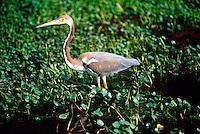 ANIMALS<br /> Louisiana Heron<br /> Egretta tricolor<br /> Corolla, NC