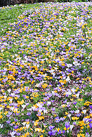 Crocus naturalizing in lawn spring bulbs in bloom in March early flowers, signs of spring in mixture of colors