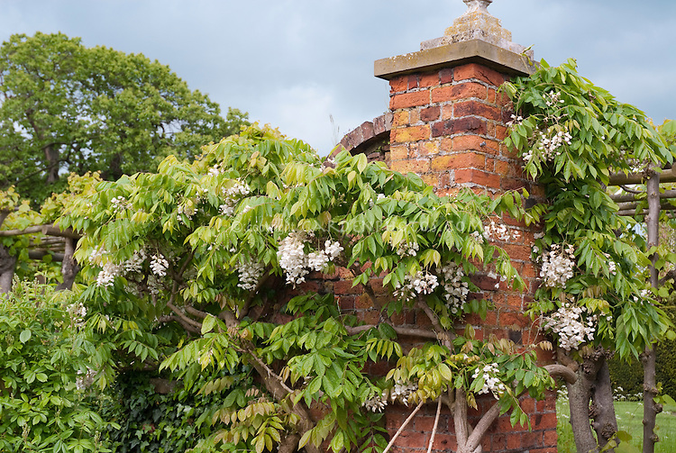 Wisteria venusta climbing vine twisting stems on old brick  wall in spring flower with blue sky and clouds