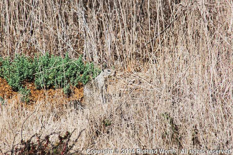 A ground squirrel's  coloring helps it blend in with its surroundings, a natural defense against predators.
