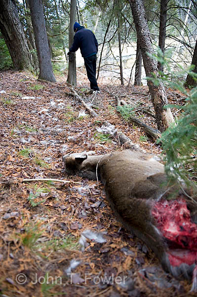 Biologist sets trail camera over Whitetail deer doe killed by coyotes