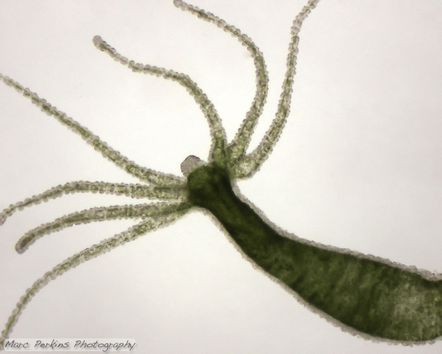 A whole live green hydra (Phylum Cnidaria, class Hydrozoa, genus Hydra) seen under a light microscope with no staining or artificial coloring.  The hydra is still alive, and has extended its 7 tentacles (cnidae) which are lined with stinging cells (cnidocytes, visible as the bumps on the tentacles) that produce nematocysts.  Its mouth is visible at the base of the tentacles.  Hydra are active predators, hunting prey with their tentacles, and then killing them with toxins in their nematocysts.  Seen at approximately 40x magnification.