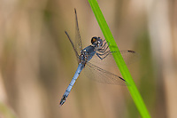 Little-Blue Dragonlet (Erythrodiplax minuscula) Dragonfly - Male, Lake Kissimmee State Park, Lake Wales, Polk County, Florida