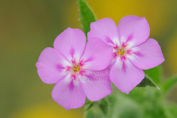 Pointed Phlox (Phlox cuspidata), blooming, Fennessey Ranch, Refugio, Corpus Christi, Coastal Bend, Texas Coast, USA