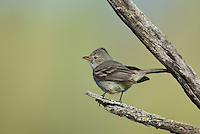 584750002 a wild northern beardless-tyrannulet camptostoma imberbe perches on a branch at catalina state park in tucson arizona united states