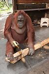 Bornean Orangutan (Pongo pygmaeus wurmbii) - Siswi the Queen of the jungle of Camp Leakey saws a piece of firewood.
