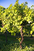 Grapevine of green Ortega grapes to produce English white wine at Biddenden Vineyards Ltd in Kent, England, UK