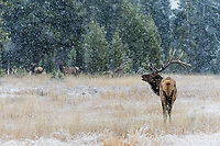 Rocky Mountain bull Elk bull (Cervus canadensis nelsoni) watching over his harem--cow elk--in snowstorm.  Northern U.S. Rocky Mountains.  October.