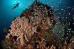 Golden sweepers (Parapriacanthus ransonneti)  in the reef with colourful soft and fan corals and diver.