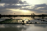 Rice farmer in paddy field.