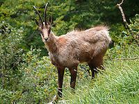 Barrea, Abruzzo, Italy, June 2008. During a hike with Pasetta, we see lots of wildlife like Chamois. The owner of camping La Genziana, is the grandson of the last wolf hunter of the Abruzzo mountains. Nowadays the wolfs are protected by the national parks. Photo by Frits Meyst/Adventure4ever.com