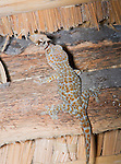 Tokay gecko, Gekko gecko, catching a moth on the ceiling of a bamboo shelter on Atauro Island, Timor-Leste (East Timor)
