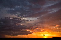 Acacia tree silhouette at sunset against dramatic skies, Masai Mara, Kenya