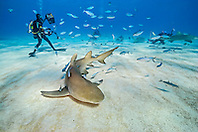lemon sharks, Negaprion brevirostris, and scuba divers, Grand Bahama, Bahamas, Caribbean Sea, Atlantic Ocean