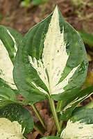 Hosta Revolution foliage with white center and wide green margin