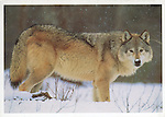 Grey Wolf, Montana<br />