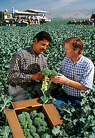 Agriculture - Farmers/growers checking the quality of their broccoli crop during harvest, harvesters in distance / Salinas Valley, California, USA.  MR