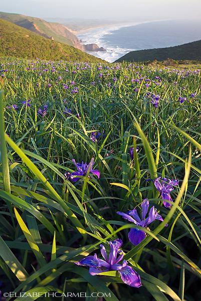 Wild Iris, Point Reyes II