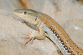 Wall Lizard male (Mesalina balfouri) endemic to Socotra, Yemen.