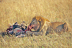 Lion Feeding On Wildebeest