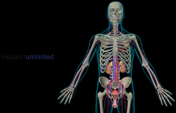 An anterior view of the urinary system relative to the skeleton and blood supply of the lower body. The surface anatomy of the body is semi-transparent and tinted turquoise. Royalty Free